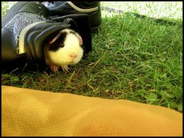 Guinea pig in my shoe. by xoxomassacre