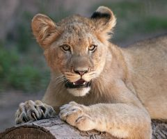Lion Cub Portrait 0880 by robbobert