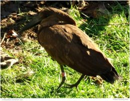 Hammerkop the Hammerhead Stork by In-the-picture