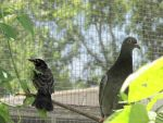 Young Pigeon and Robin 3 by Windthin