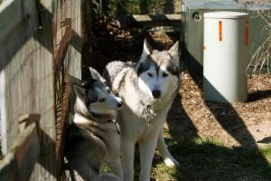 Two Huskies by mr-lacombe