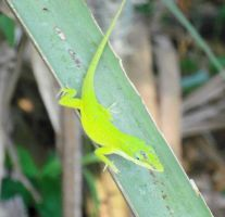 Bright Floridian Lizard (cropped some) by RussianSakabato9