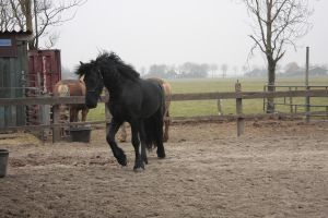 Friesian Stallion 4 by PerfectionStock