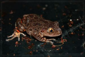 Red Legged Walking Frog 2 by theperfectlestat