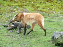 Maned Wolf by HeroesRain