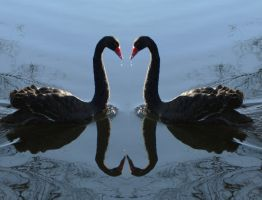 Swan heart by Tigerente-in-love