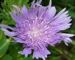 Stokesia with crab spider by duggiehoo