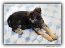 Puppy on Blanket by substar