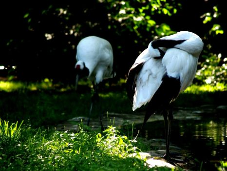 Japanese Cranes by the-astronaut