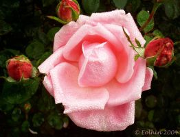 Cotton Candy Rose w. Buds 037 by Eolhin