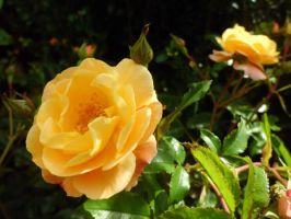 Yellow Rose by siete111