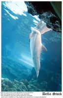 Dolphin Breaking Surface by Della-Stock