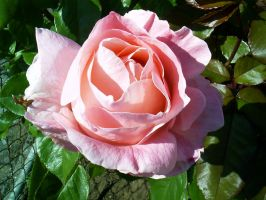 Pink Rose by BorgBoy7