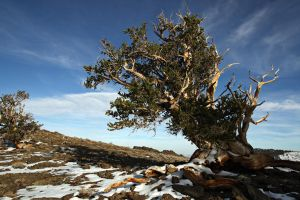 Bristlecone in Snow by DoomWillFindYou