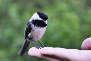 Black-capped Chickadee by Chaotic-Chelly