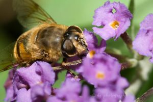 Bee 4993 by DG-Photo