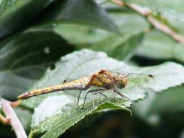 Common darter dragonfly by Jack-In-The-Green
