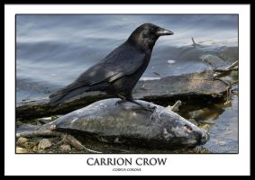 Carrion Crow by THEDOC4