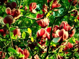 magnolia by EatMyNose