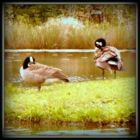 TWO GEESE CLEANING UP by AudraMBlackburnsArt