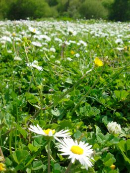 Daisies by seraphina5042