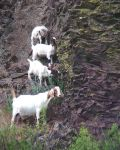 Terraced Goats - Mom and crew by nighthawkpm