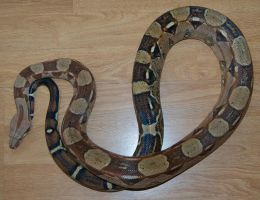 Gallifrey the Caramel Red Tail Boa by Phoenix-Cry