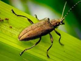 Reed Beetle by iriscup