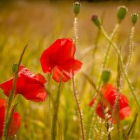 Poppy Field I by Jez92