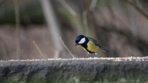 Great Tit by BoyWonderRobin