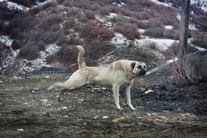 KANGAL by hedehodo