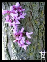 Spring Is Here: Redbud Trees 2 by MagicalMelonBall