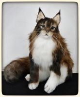CIRCE the Maine coon cat by KALEideaSCOPE
