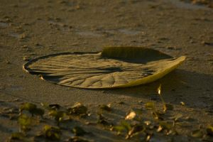 Lilly Pad 1 by SalsolaStock