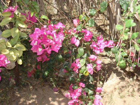 More roses in our farm by Wael-sa