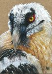 Bearded Vulture ACEO by Leftblind
