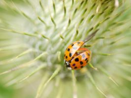 Ladybird (Ladybug) on thistles. by asaluiphotography