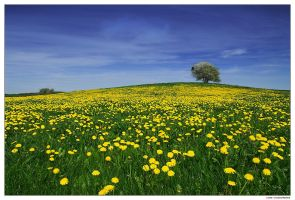 Dandelion Hill by Crossie