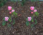 Stereograph - Roses by alanbecker