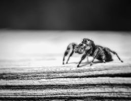 Jumping Spider by Nathan-Ruby