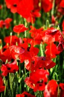Poppies by Alomie