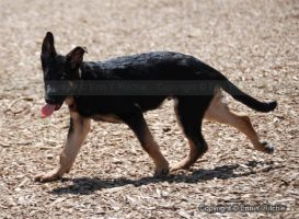 Cute German Shepherd Puppy1 by quicksilverstudios