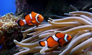 Two Clownfish by go4music