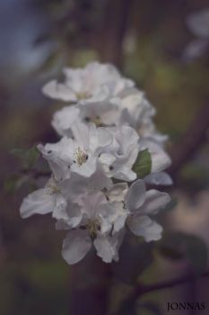 Apple Blossom. by Harm1