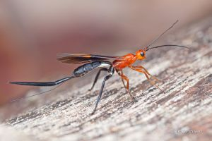 Zombrus sp. Braconid Wasp by melvynyeo