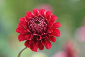 Soft Red by Souzay
