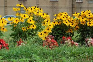 Black-eyed Susans by Green-Ocean-Stock