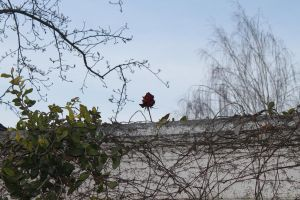 The rose that wanted to be seen. by mrwho103