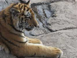 Amur Tiger Stock 7: Cub by HOTNStock