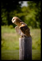 Barn Owl by NoelleLaBelle